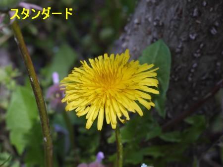 たんぽぽ1 4.8.JPG