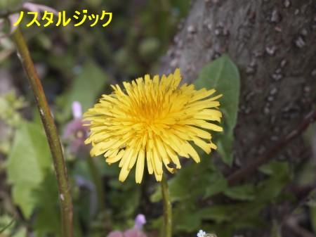 たんぽぽ2 4.8.JPG