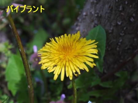 たんぽぽ3 4.8.JPG