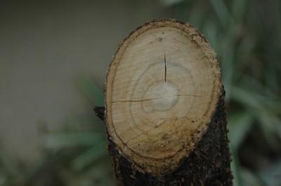 タラの木 10.24.JPG