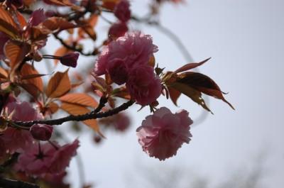 八重桜1 4.26.JPG