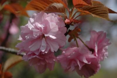 八重桜 4.25.JPG
