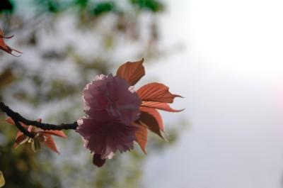 八重桜3 4.26.JPG