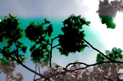 桜だよ1 4.17.JPG