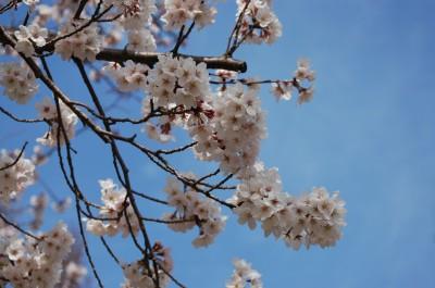 桜だよ3 4.17.JPG