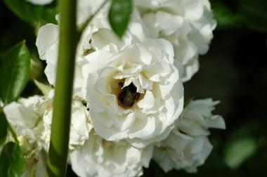 バラに虫1 5.29.JPG