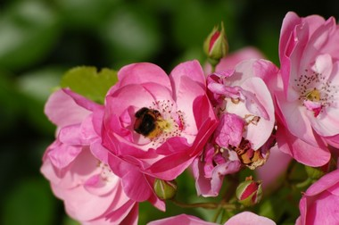 バラに虫2 5.29.JPG
